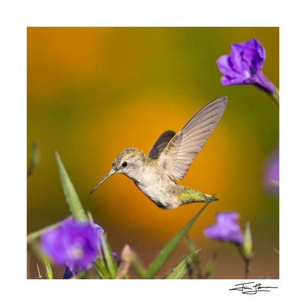 Wildlife portrait of a female Anna's hummingbird.