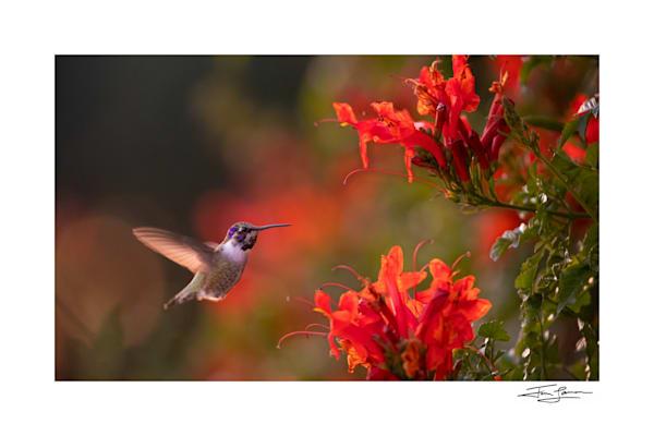 Photograph of a Costa's hummingbird at honeysuckle flowers.