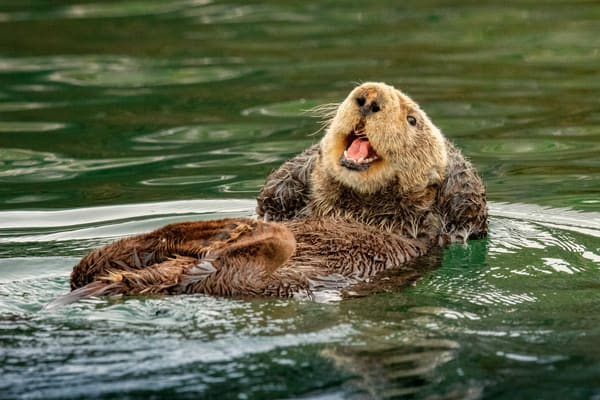 Life Is Good    Laughing Sea Otter    Kachemak Bay 4846 Photography Art | Koral Martin Fine Art Photography