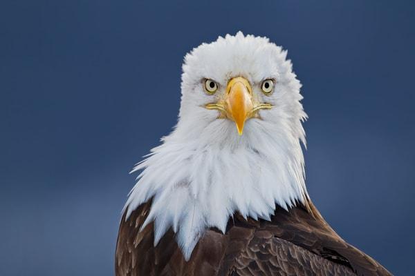 Bald Eagle Portrait Down The Barrel M7 E1128 Homer Ak Photography Art | Clemens Vanderwerf Photography