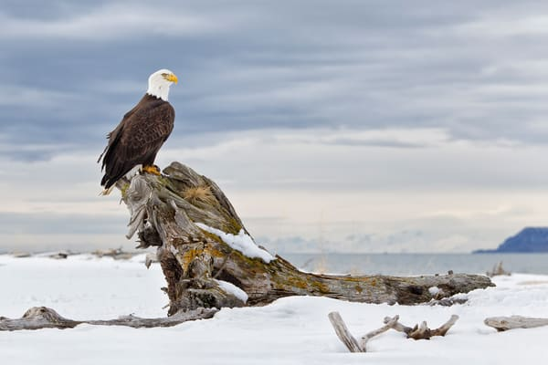Bald Eagle Sitting On Rustic Perch Tree With View Bkgd Crop E07 G4010 Kachemak Bay Homer Ak Photography Art | Clemens Vanderwerf Photography