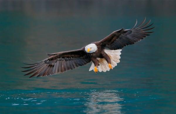 Bald Eagle Wings Wide Green Water E7 T8835 Kachemak Bay Homer Alaska Usa Photography Art | Clemens Vanderwerf Photography