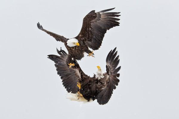 Bald Eagles Fighting Kun Fu Style Crop E07 G9186 Kachemak Bay Homer Ak Photography Art | Clemens Vanderwerf Photography