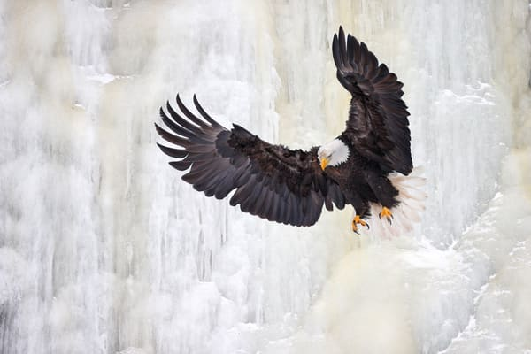 Bald Eagle Dropping Down Ice Waterfall 74 I1031 Kachemak Bay Alaska Usa Photography Art | Clemens Vanderwerf Photography