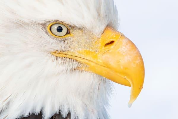 Bald Eagle Eye Ball A3 I9462 Kachemak Bay Kenai Peninsula Ak Usa Photography Art | Clemens Vanderwerf Photography