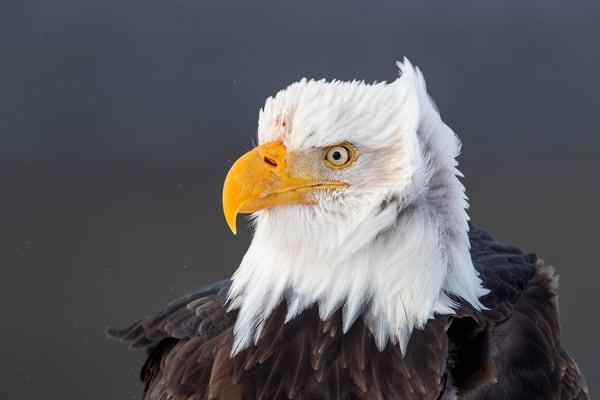 Bald Eagle Head Portrait Against Dark Bkgd A3 I9169 Kachemak Bay Kenai Peninsula Ak Usa Photography Art | Clemens Vanderwerf Photography