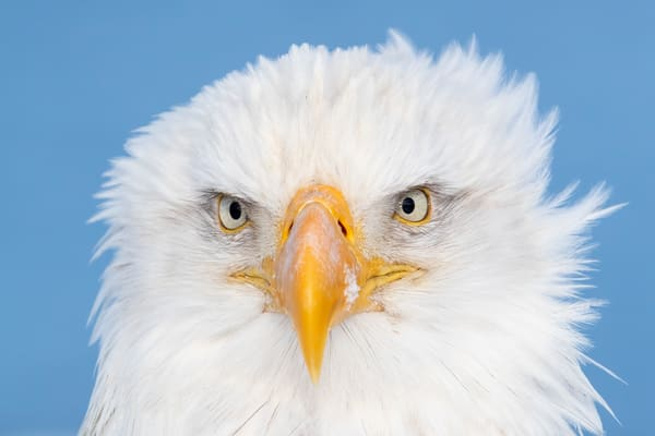 Bald Eagle Head Portrait With Blue Background A3 I9586 Kachemak Bay Kenai Peninsula Ak Usa Photography Art | Clemens Vanderwerf Photography