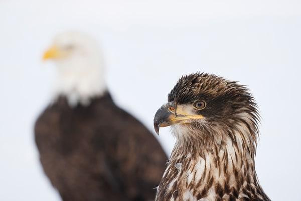 Bald Eagle Juvenile And Adult Juxtaposition 95 I4395 Kachemak Bay Kenai Peninsula Ak Usa Photography Art | Clemens Vanderwerf Photography