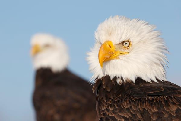 Bald Eagles Juxtaposition 74 I4627 Kachemak Bay Alaska Usa Photography Art | Clemens Vanderwerf Photography