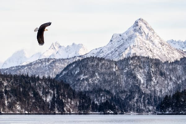Bald Eagle Soaring At China Poot 95 I0535 Kachemak Bay Kenai Peninsula Ak Usa Photography Art | Clemens Vanderwerf Photography