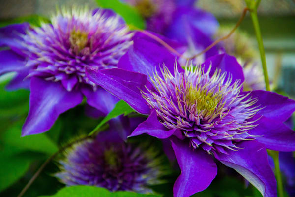 Multi Blue Clematis Photography Art | Lake LIfe Images