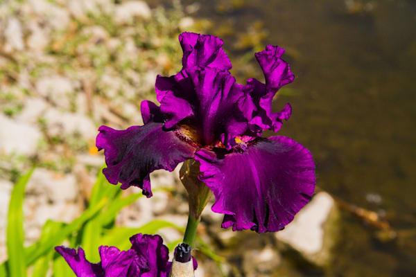 Purple Serenade Iris Photography Art | Lake LIfe Images
