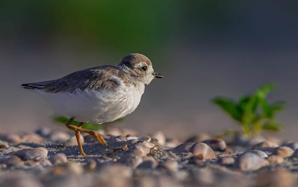 A young Piping Plover running toward sunrise at Cape Cod National Seashore.