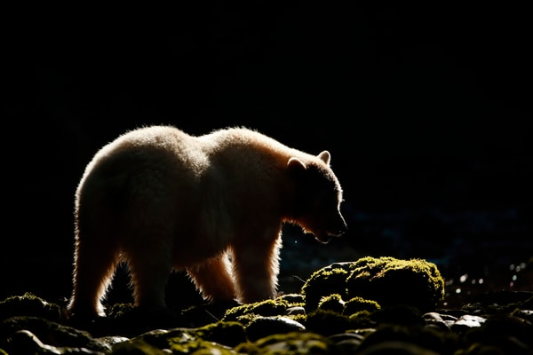 Spirit Bear Silhouette Backlit E7 T4956 Gribbell Island British Columbia Canada Photography Art | Clemens Vanderwerf Photography