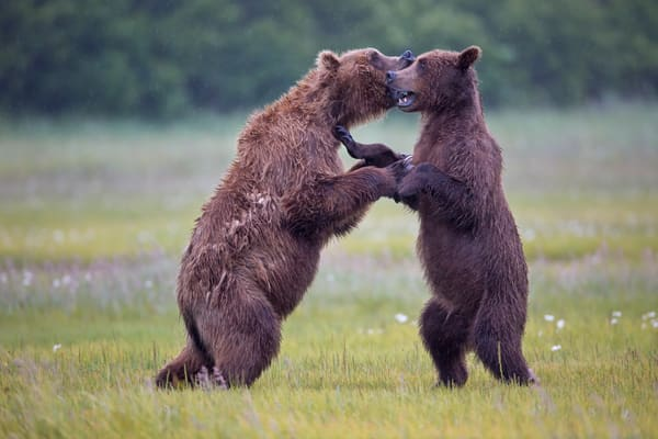 Coastal Brown Bears Playing With Each Other In The Meadow W7 C7427 Hallo Bay Katmai Np Ak Photography Art | Clemens Vanderwerf Photography