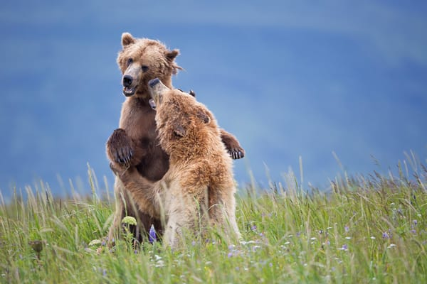 Coastal Brown Bears Playing In High Grass With Wildflowers W7 C7907 Hallo Bay Katmai Np Ak Photography Art | Clemens Vanderwerf Photography