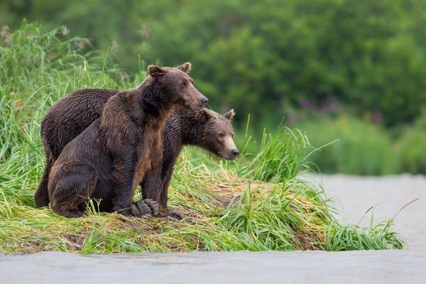 Coastal Brown Bears Overlooking The River B8 R2306 Geographic Harbour Katmai Np Alaska Photography Art | Clemens Vanderwerf Photography