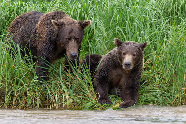 Coastal Brown Bears Looking For Fish Together B8 R2120 Geographic Harbour Katmai Np Alaska Photography Art | Clemens Vanderwerf Photography