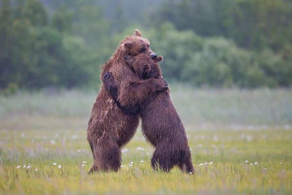 Coastal Brown Bears In Traditional Bear Hug W7 C7533 Hallo Bay Katmai Np Ak Photography Art | Clemens Vanderwerf Photography