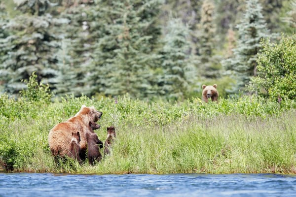Coastal Brown Bears And Cubs Looking Up At Other Bear Ii A3 I7276 Alagnak River Katmai National Park Preserve Ak Usa Photography Art | Clemens Vanderwerf Photography