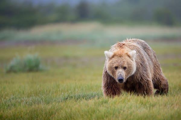 Coastal Brown Bear Walking Through Green Meadow W7 C7683 Hallo Bay Katmai Np Ak Photography Art | Clemens Vanderwerf Photography