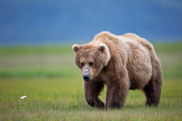 Coastal Brown Bear Walking With Wildflower In Grass And Blue Bkgd W7 C8063 Hallo Bay Katmai Np Ak Photography Art | Clemens Vanderwerf Photography