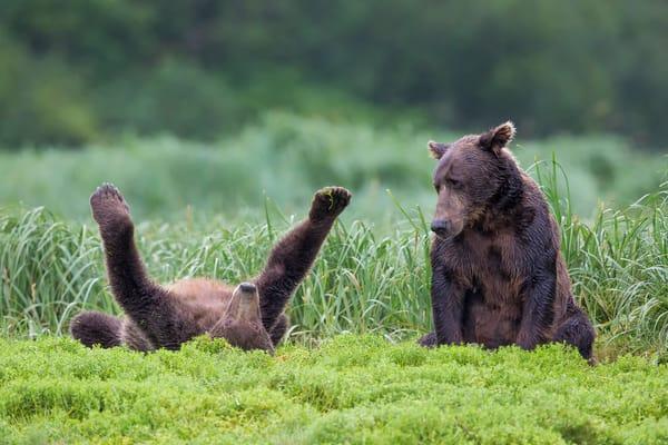 Coastal Brown Bear Cub Playing On Its Back B8 R1942 Geographic Harbour Katmai Np Alaska Photography Art | Clemens Vanderwerf Photography