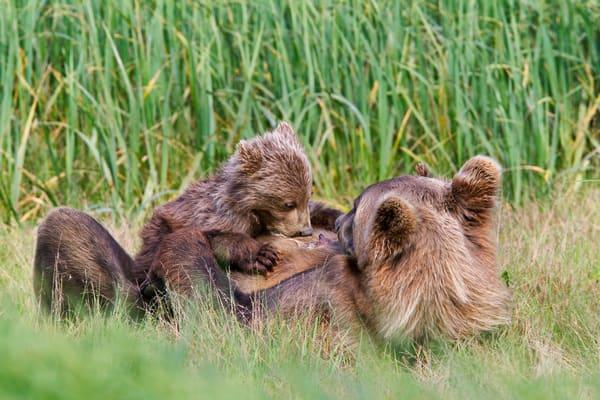 Brown Bear Sow And Cub Nursing M7 E8257 Geographic Harbor Katmai National Park Ak Photography Art | Clemens Vanderwerf Photography