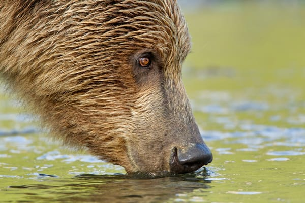 Brown Bear Drinking Close Up Yellow Reflection M7 E0352 Geographic Harbor Katmai National Park Ak Photography Art | Clemens Vanderwerf Photography