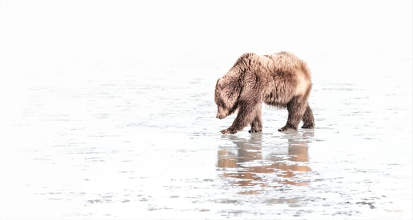 On A Clam Hunt,  Coastal Brown Bear   High Key 6904 Art | Koral Martin Fine Art Photography