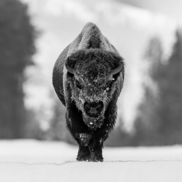 Bison Walking Head On In The Snow B W Iii B8 R6579 Yellowstone National Park Wy Usa Photography Art | Clemens Vanderwerf Photography