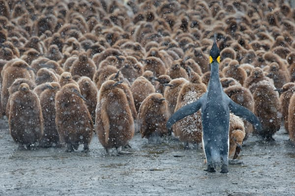 King Penguin And Oakum Boys Ii B8 R4375 Gold Harbour South Georgia Islands Southern Ocean Photography Art | Clemens Vanderwerf Photography