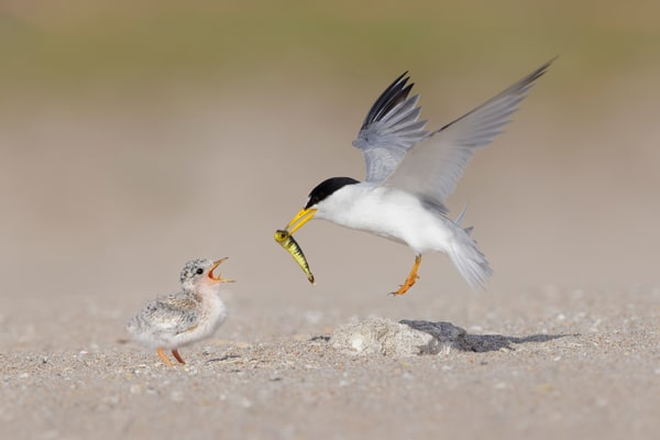 Least Tern Flying In With Fish F0 A9414 Pompano Beach Florida Usa Photography Art | Clemens Vanderwerf Photography