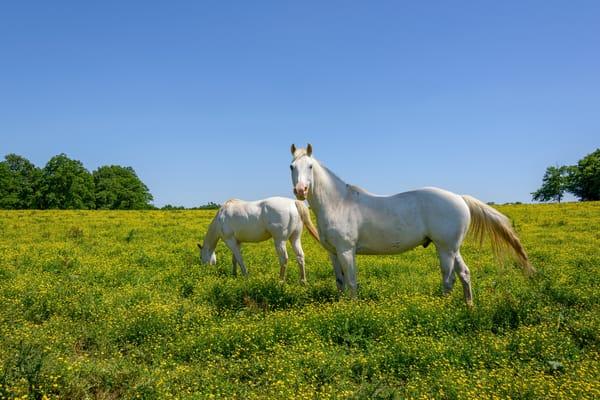 White Horses 2567