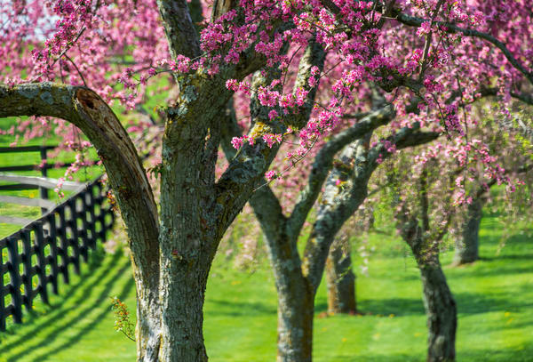 Redbuds4873 Photography Art   Jeff Rogers Photography, Inc.