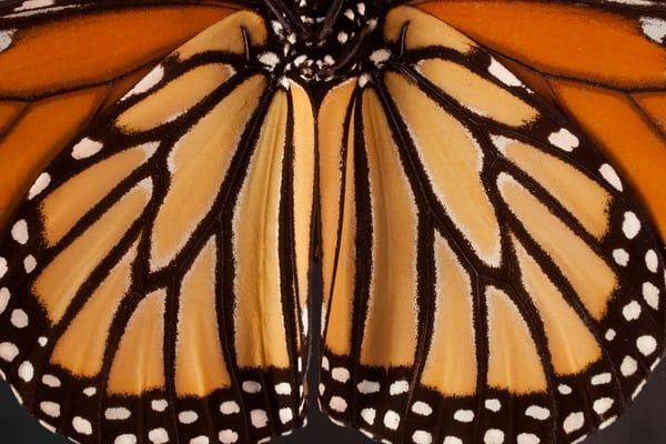Monarch Butterfly, Houston, Texas Photography Art | Rick Gardner Photography