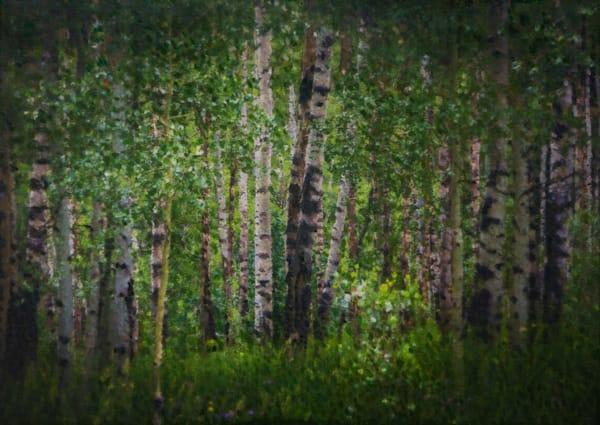Aspen Forest in Summer