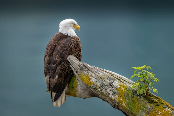 Adult Female Bald Eagle on driftwood