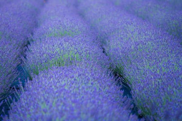 Lavender Bushes Photography Art | nancyney