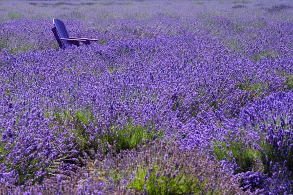 Lavender Side Chair Photography Art | nancyney