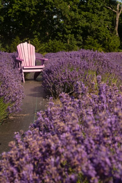Lavender With Trees Photography Art | nancyney