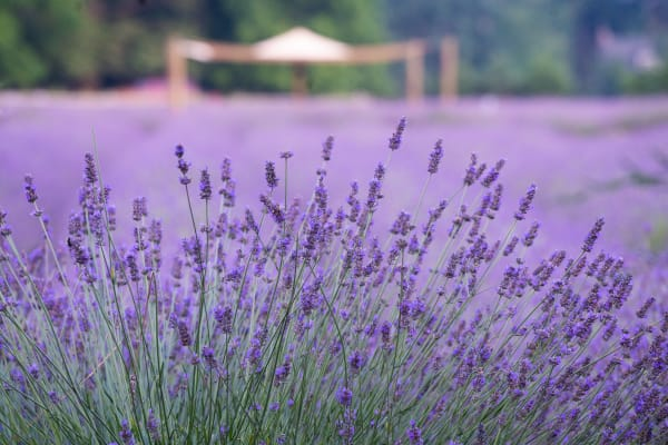 Lavender With Tent Photography Art | nancyney