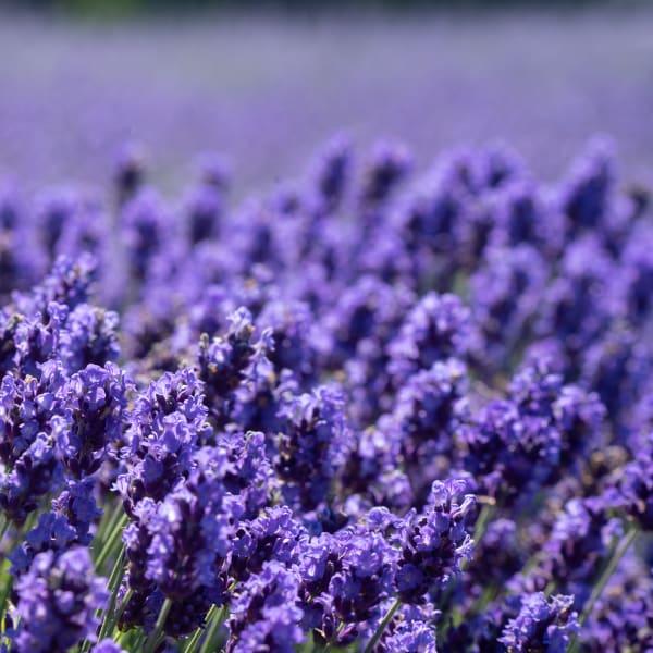 Lavender Bite Photography Art | nancyney