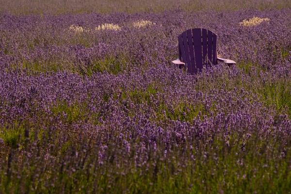 Lavender Buried Chair Photography Art | nancyney