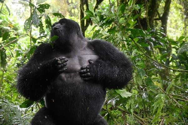 Alpha Gorilla3 Art   Drivdahl Creations