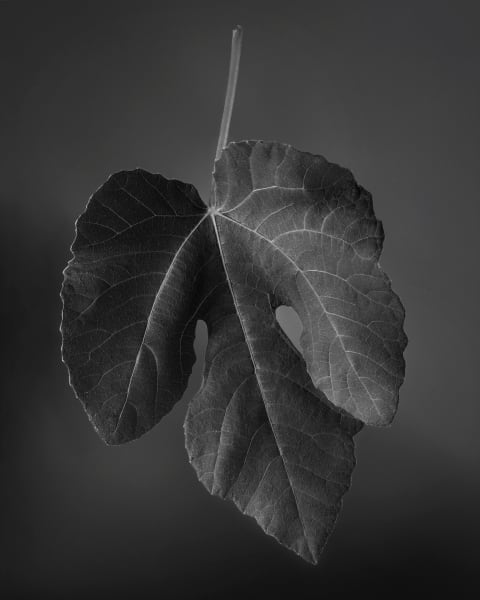 Unemployed Fig Leaf Looking For Private Parts Photography Art | Rick Gardner Photography