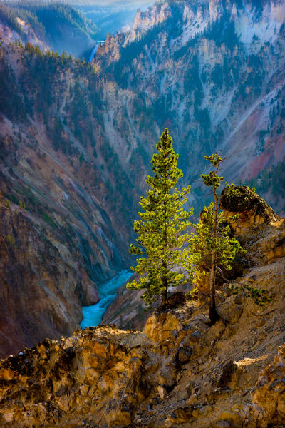 Pine Trees, and The Yellowstone River, Yellowstone National Park
