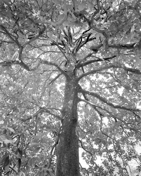 Magnolia Tree, Ossabaw Island, Georgia Photography Art | Rick Gardner Photography