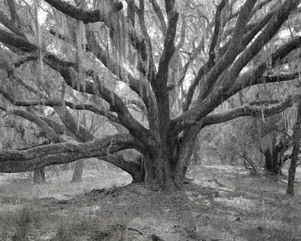 Oak Tree, Mule Run Road, Ossabaw Island, Georgia Photography Art | Rick Gardner Photography
