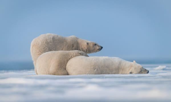 Ice Bear Pile Up  Photography Art   Visual Arts & Media Group Corporation